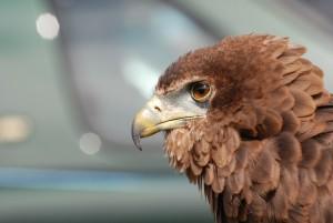 eagle-377204_1280