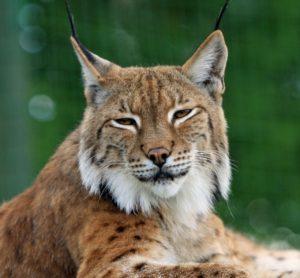 bobcat-165190_1280